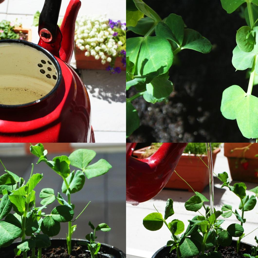 Como cultivar guisantes